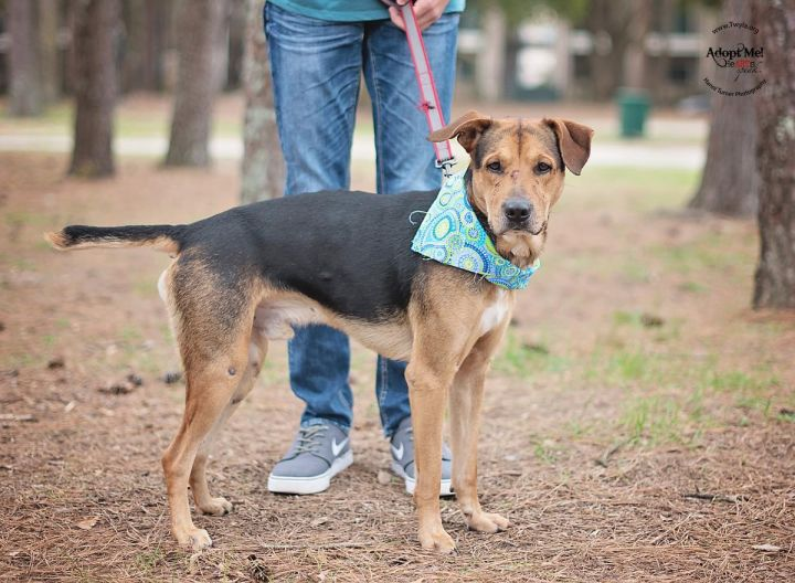 Ajax, an adopted Hound & German Shepherd Dog Mix in Kingwood, TX