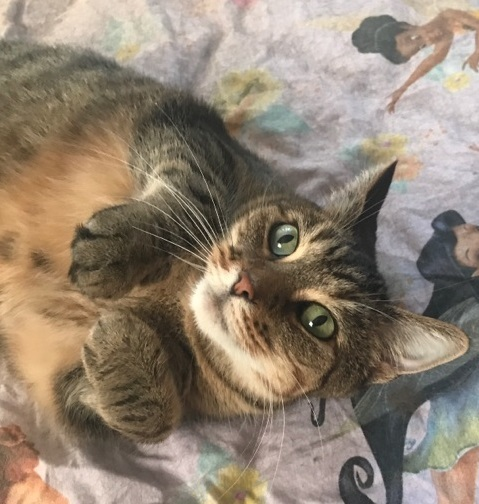 Izzy & Bellarina, an adoptable Tabby Mix in Waverly, IA