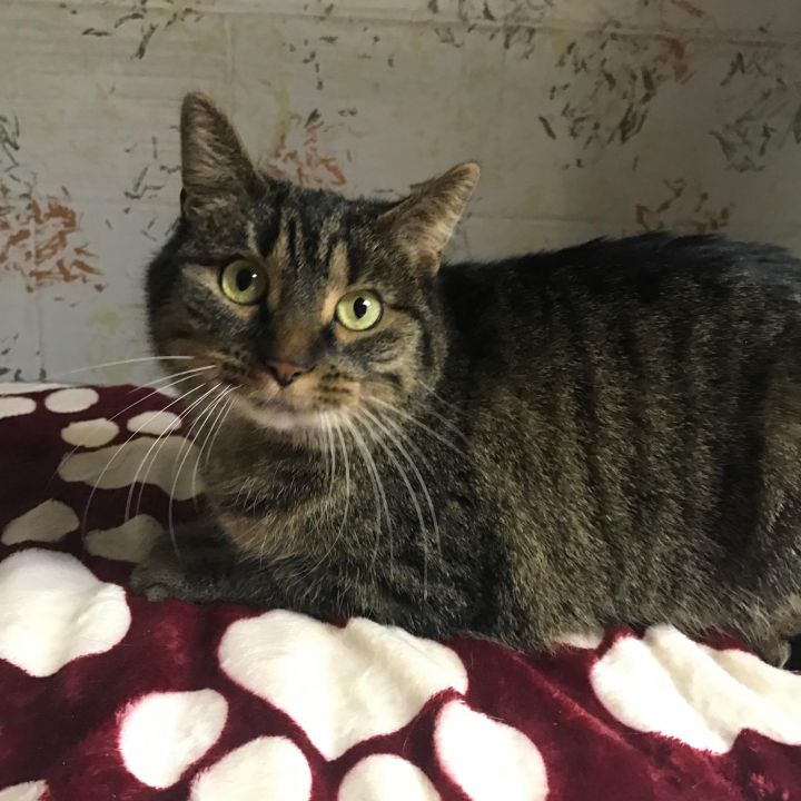 Bellarina, an adoptable Tabby Mix in Waverly, IA