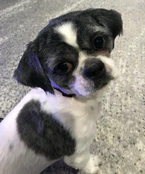 Oreo, an adopted Shih Tzu in Wantagh, NY