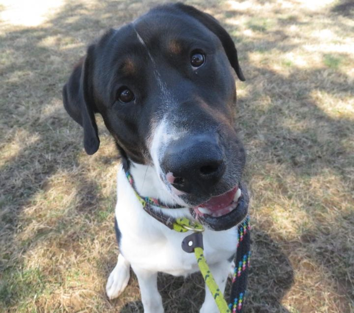 Bovegard (Bo), an adopted Great Dane & Coonhound Mix in Harrisburg, PA