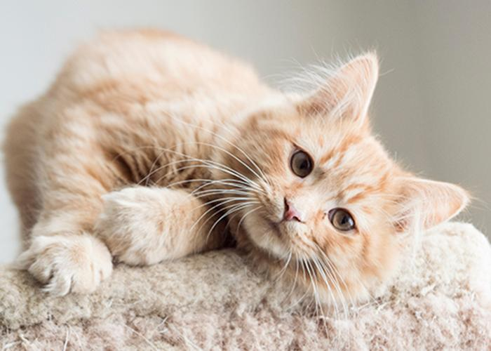 Zimba, an adopted Domestic Medium Hair Mix in Fort Smith, NT