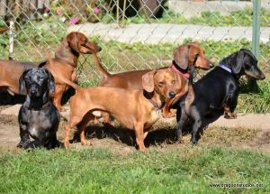 We have been placing this breed since 1991 All these dogs pictured here have been placed and this a