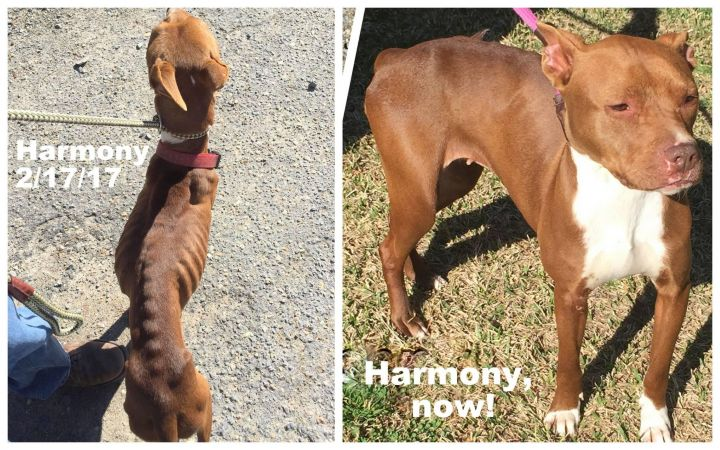 Harmony, an adopted Staffordshire Bull Terrier Mix in Kinston, NC