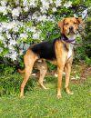 Hound Dog: Amos *Bonded Pair*