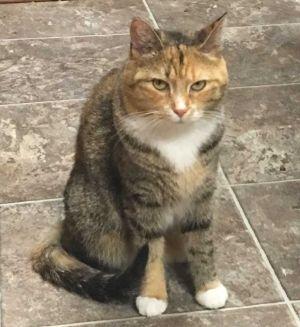 Kit Kat Domestic Short Hair Cat