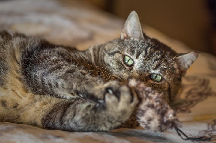 Friendly Flyn, an adopted Domestic Short Hair & Tabby Mix in Stanford, CA