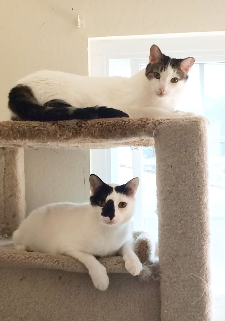 Aristotle (Ari) and Epicurious (Epi), an adopted Domestic Short Hair Mix in Stanford, CA