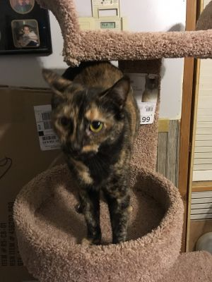 Ms Tortie was rescued from a home in Croton where he had 13 females that needed to be spayed and