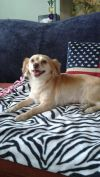 Brittany Spaniel Dog: Ginger