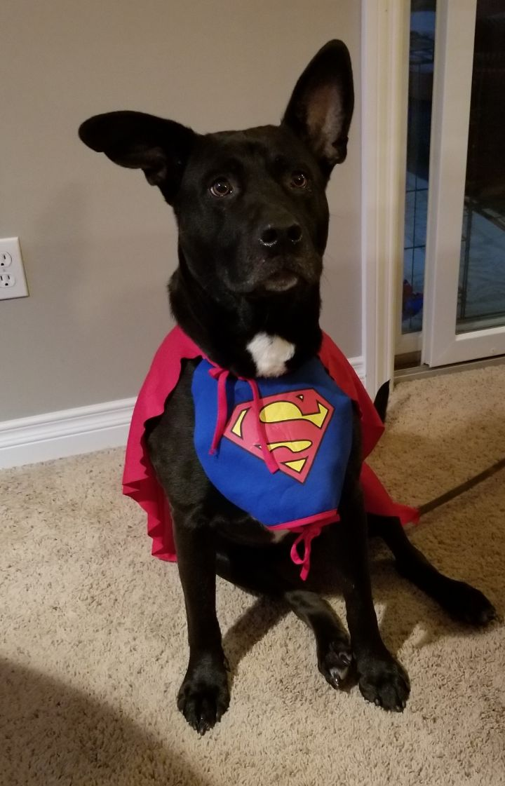 Hannah, an adopted Shepherd Mix in Northville, MI