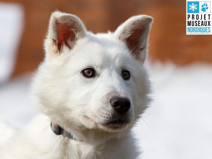 Tadum, an adopted Husky Mix in Ile Perrot, QC