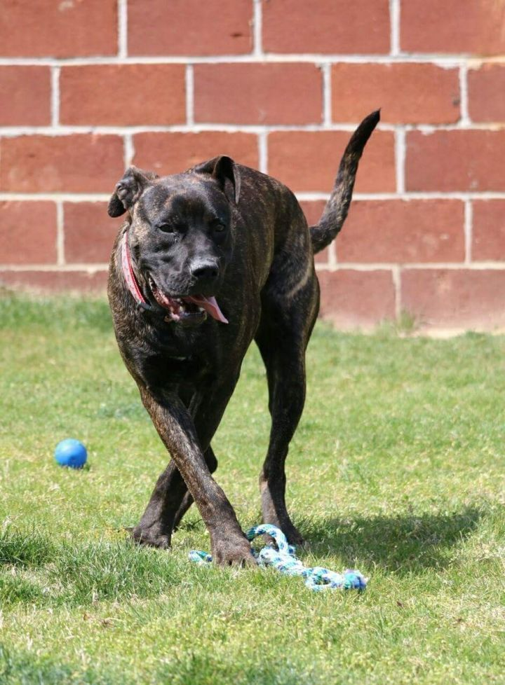 George, an adopted Mastiff Mix in Macon, GA