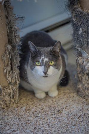 Pixie Domestic Short Hair Cat