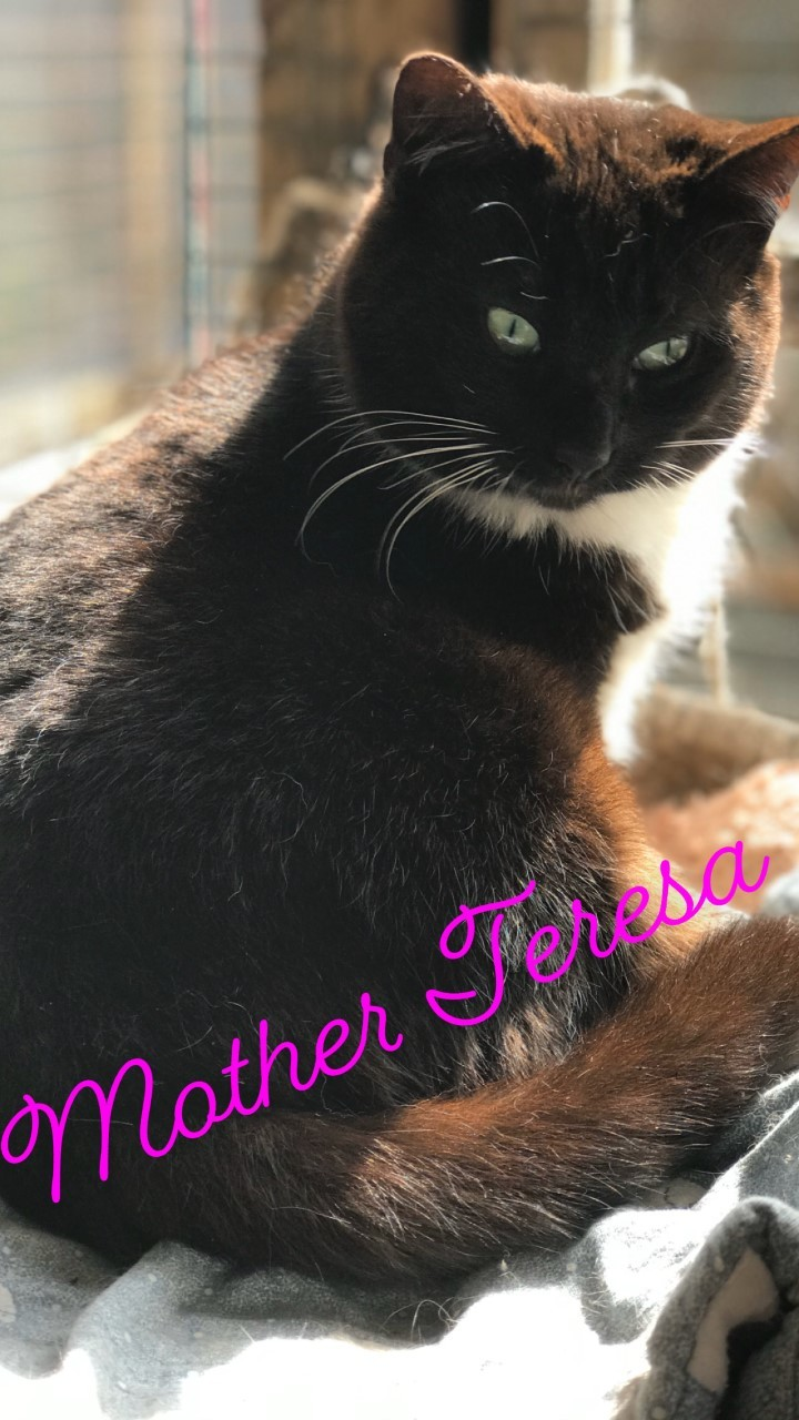 Teresa, an adoptable Domestic Short Hair Mix in Conway, SC