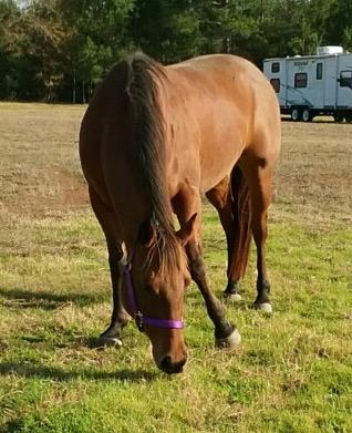 Moxie, an adoptable Quarterhorse Mix in Brenham, TX
