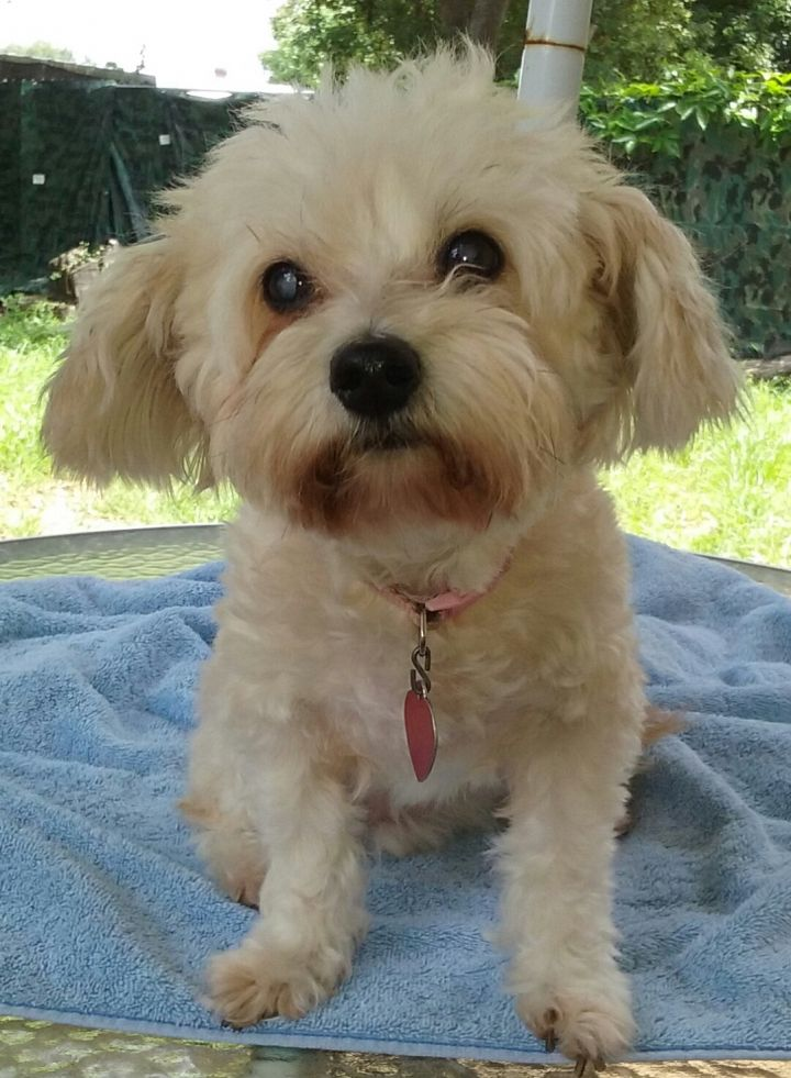 Dog For Adoption Daisyann Fl A Maltese Poodle Mix In