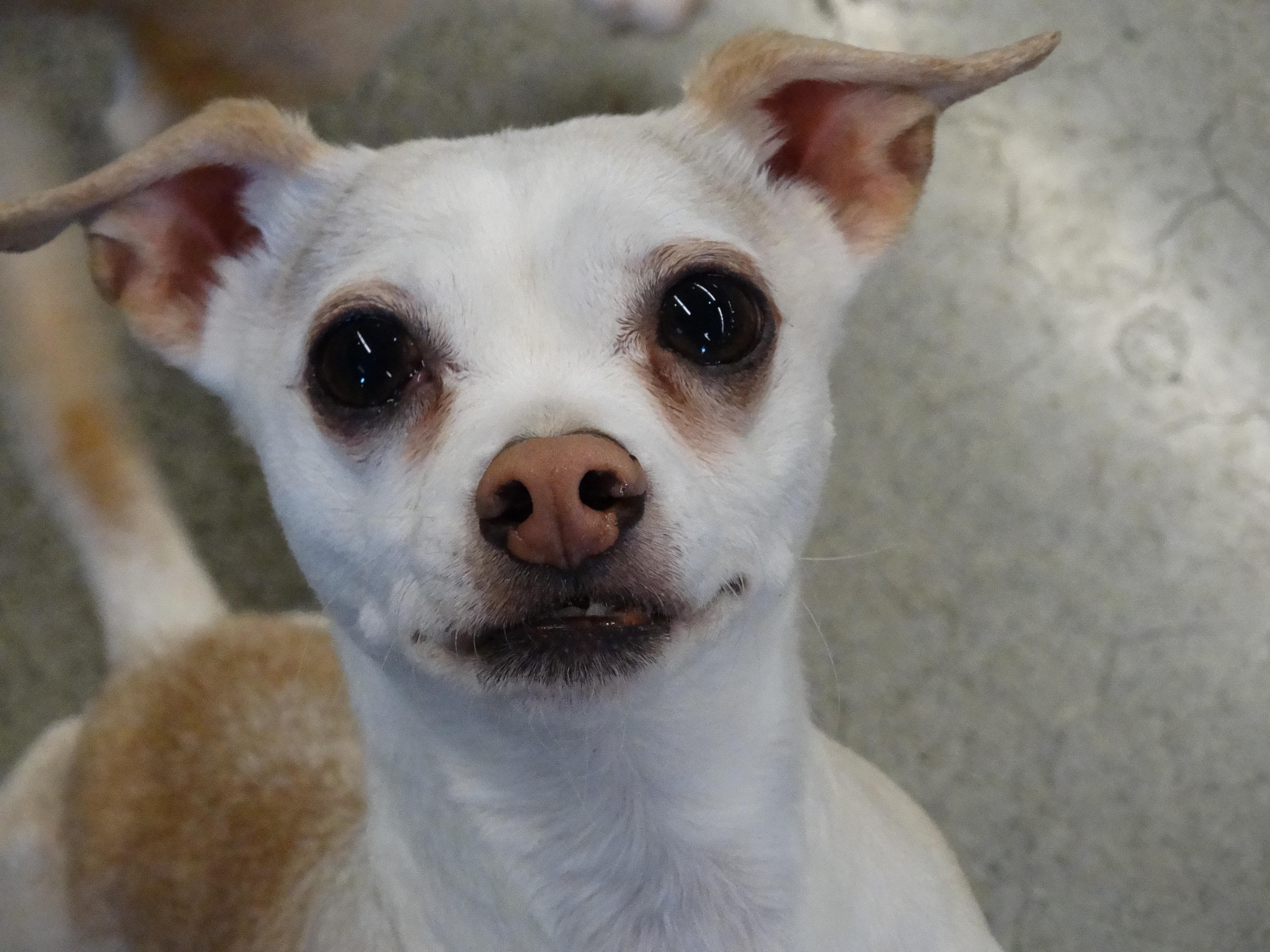 Dog for Adoption – Pucchini (Pooch), near Tacoma, WA   Petfinder