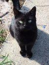 American Shorthair Cat: JACK-HIV POSITIVE