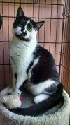 American Shorthair Cat: Baby Hughy
