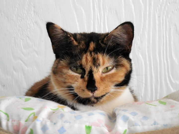 Aster, an adoptable Calico Mix in Palo Cedro, CA