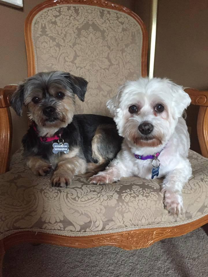Zoee, an adopted Maltese in Pitt Meadows, BC