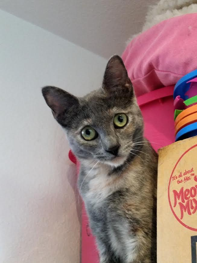 Reina, an adoptable Tortoiseshell & American Shorthair Mix in Palo Cedro, CA