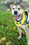 Labrador Retriever Dog: Blue