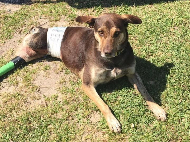 Job, an adoptable Hound & Labrador Retriever Mix in Mary Esther, FL