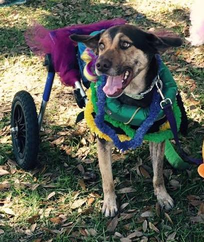 Jobe, an adoptable Hound & Labrador Retriever Mix in Mary Esther, FL