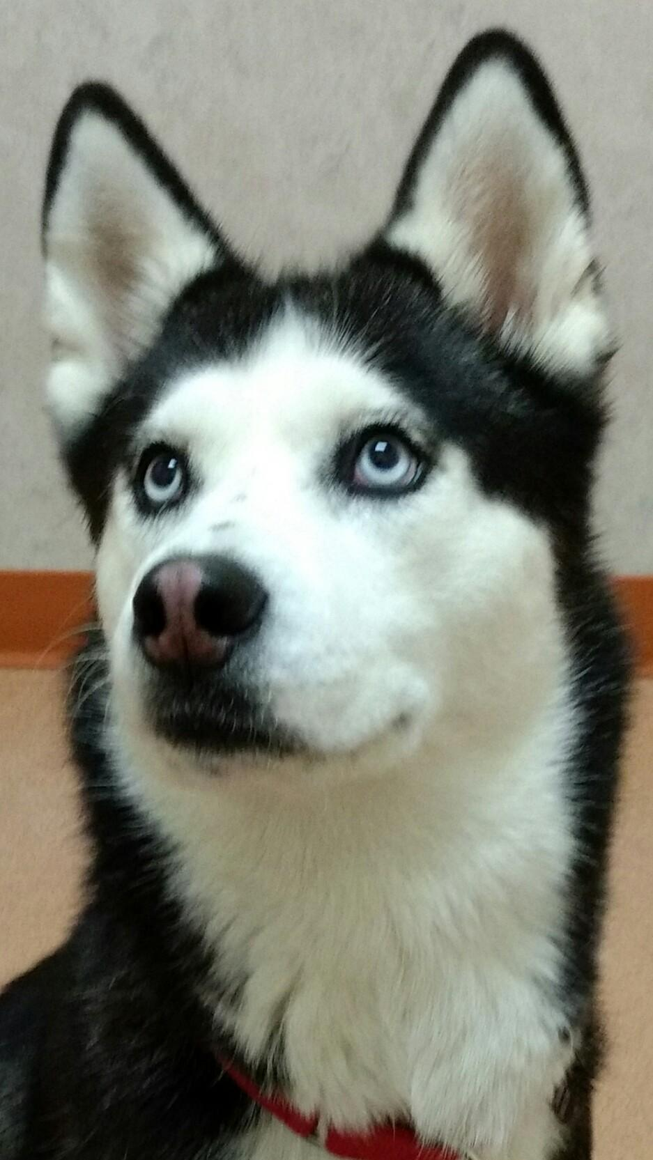 Dog for Adoption – FROSTY, near Galway, NY | Petfinder | Siberian Husky Puppies En Puerto Rico