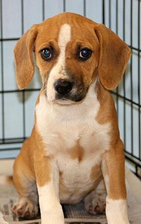 Rosie, an adopted Beagle Mix in Reston, VA