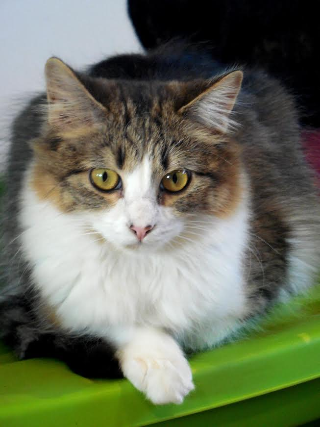 Whitney, an adoptable Tabby & Domestic Medium Hair Mix in Palo Cedro, CA