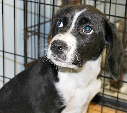 Tubbs, an adopted Beagle Mix in Reston, VA