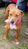 Beagle Dog: Chanel