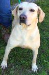 Labrador Retriever Dog: Union