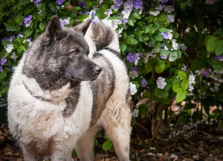 Nyla Bone, an adoptable Akita in Jacksonville, FL
