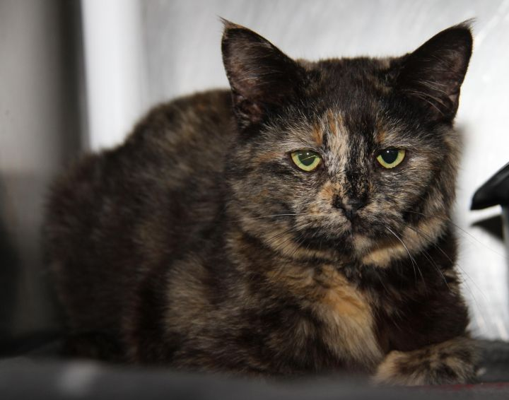 Amaretto (Spayed & Combo Tested) 1