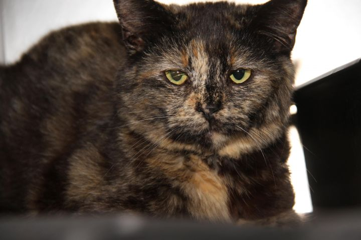 Amaretto (Spayed & Combo Tested) 2