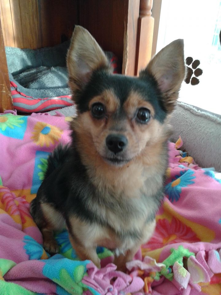 Promise, an adoptable Chihuahua in Newell, IA