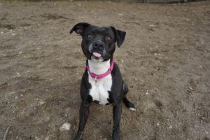 Delilah - loyal, affectionate, athletic, exuberant and joyful Staffordshire Bull Terrier Dog