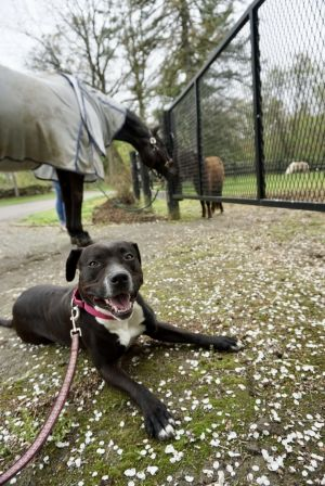 Delilah - loyal, affectionate, athletic, exuberant and joyful Staffordshire Bull Terrier Dog