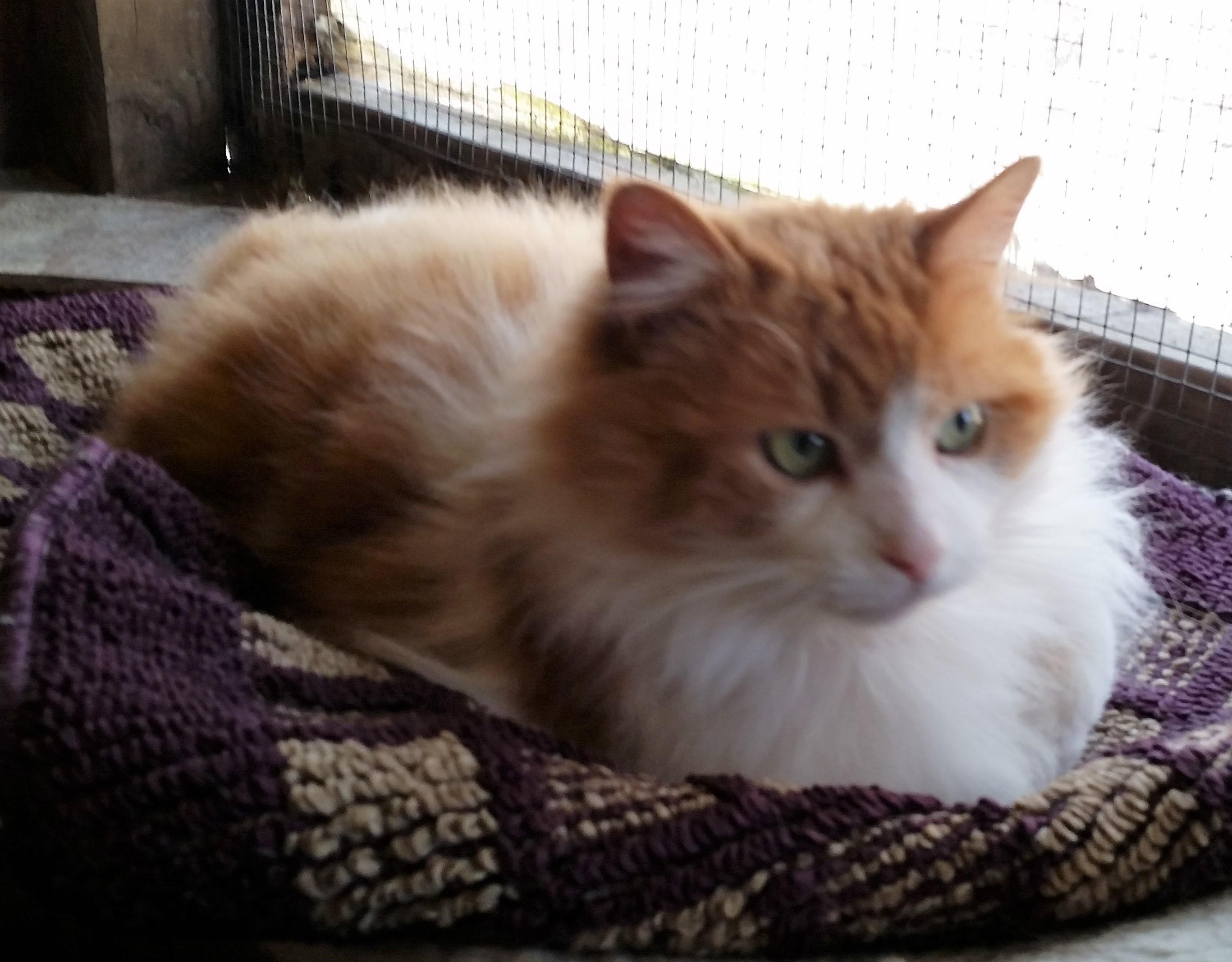 Cat for Adoption – Maxwell near Kittanning PA