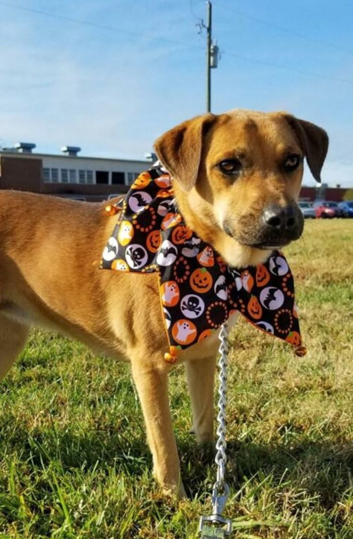 Frankie, an adoptable Shepherd & Labrador Retriever Mix in Jonesboro, GA