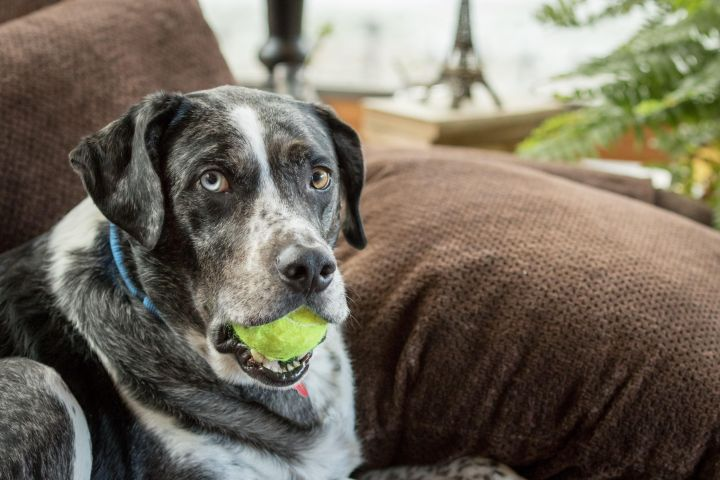 Earl, an adopted Australian Shepherd & Catahoula Leopard Dog Mix in Northville, MI