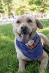 Labrador Retriever Dog: Judah