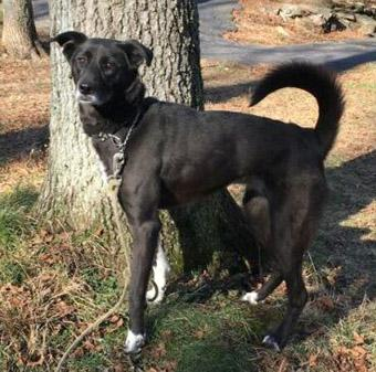 Dog for adoption - Wednesday, a Labrador Retriever & Border