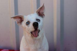 Snowflake - Hospice Chihuahua Dog