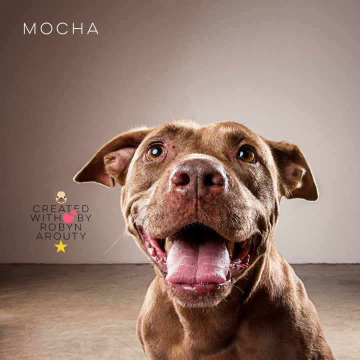 Mocha, an adoptable American Staffordshire Terrier & Labrador Retriever Mix in Kingwood, TX