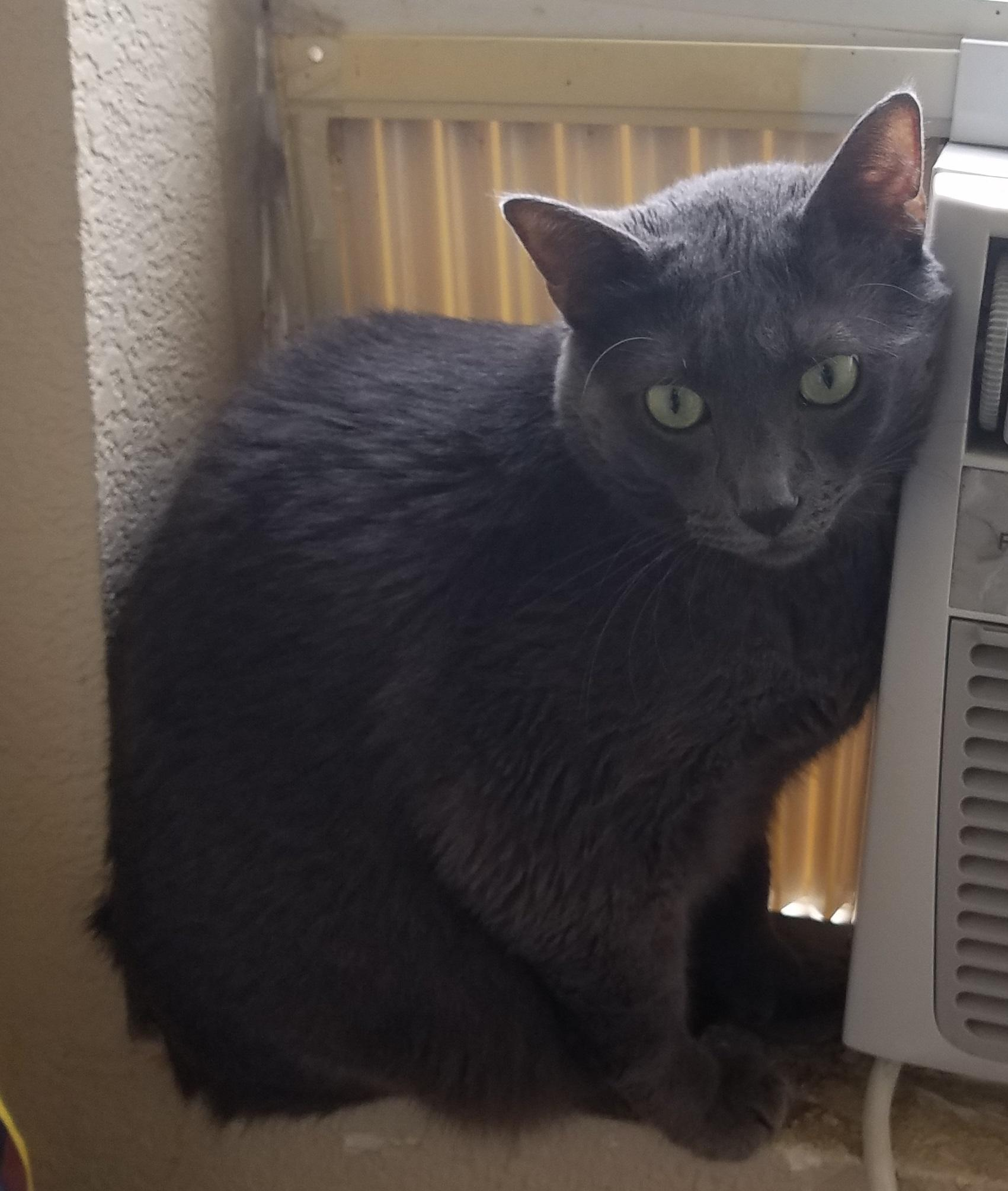"Cat for Adoption – Alfalfa "" Russian Blue Ball of Love "" near"